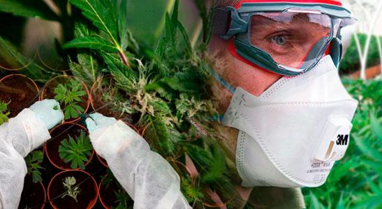 Cannabis : Au-Delà de la Culture et de la Récolte