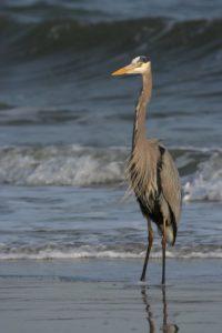 great blue heron bird large wildlife wallpaper preview 2